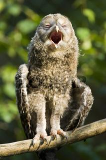 Junger Habichtskauz (Strix uralensis), Eule, Bayern, Ural Owl, fledgling, Bavaria