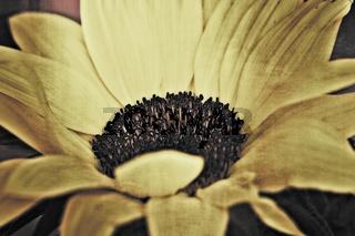 Sonnenblume mit Textur im Querformat