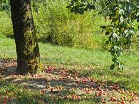Apfelbaum mit ueberreifen Aepfel