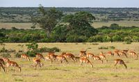 Herd of Impala antelope grazing at the savanna