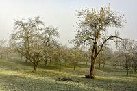 Streuobstwiese im Herbst mit Raureif