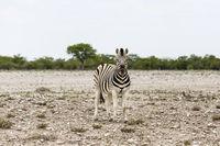 Fohlen eines Steppenzebras, Etosha Nationalpark, Foal of Plains Zebra, Etosha National Park, Namibia
