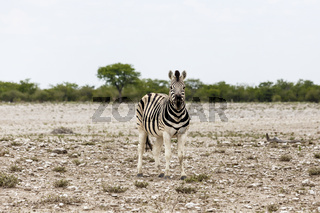 Fohlen eines Steppenzebras, Etosha Nationalpark, Foal of Plains Zebra, Etosha National Park, Namibia