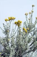 Zwergcurrystrauch; Currykraut; Helichrysum italicum