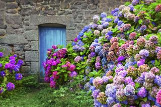 Hortensien-Haus, Bretagne, Frankreich