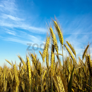 Getreide vor Himmel