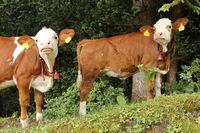 zwei junge Kühe schnuppern