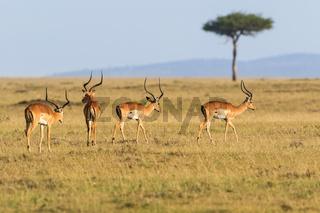 Impala antelope walking on the grass landscape