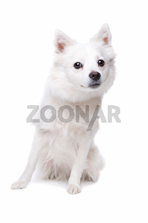 white pomeranian dog