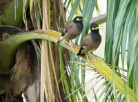 Pair of birds Common myna are sitting on a branch of palm tree