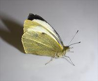 Kohlweissling, Pieris, Schmetterling