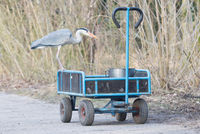 Blue heron standing on a cart loaded with a bucket of fish