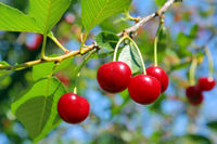 ripe cherry