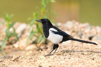 Black and white magpie