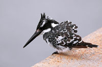 Graufischer, pied kingfisher, ceryle rudis, Südafrika, Kruger Nationalpark, South africa