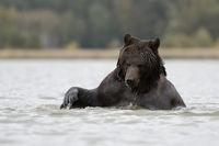 verspielt...  Europäischer Braunbär *Ursus arctos*