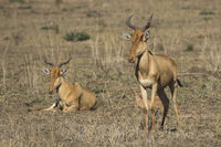 family group Coke's Hartebeest or Kongoni in the Serengeti National Park on a sunny day