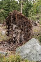 Bei einem Sturm entwurzelter Baum - Nahaufnahme Umweltschaden