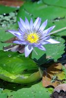 Water lily 001