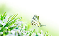 Beautiful snowdrops flower blossom and butterfly on white background. Spring nature. Greeting card template. Soft toned