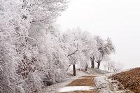 Weiße Bäume am Feldweg