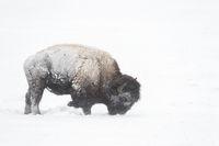 im Schnee scharrend...  Amerikanischer Bison *Bison bison*