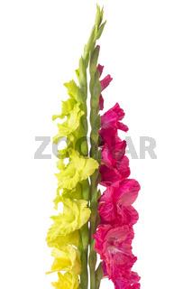 Zwei Gladiolen (Gladiolus) auf weißem Hintergrund
