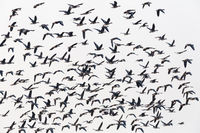 flock of wild geese flying isolated