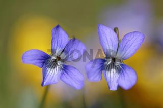 Veilchen am Niederrhein, Deutschland, viola, violets, lower rhine, germany