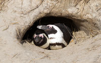 African Penguin in a nest