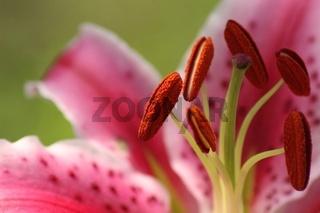 Staubgefaesse der Lilie
