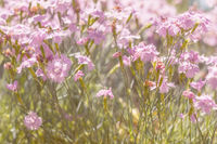 Gentle blooming pink cloves in the field on a sunny day in the summer time. Beautiful summer background.