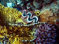 Mördermuschel im Riff