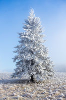 Hoarfrost covered spruce tree