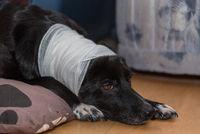 treuherzig blickender Hund mit versorgter Wunde am Kopf