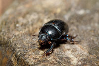 dor beetle at pine forest, macro