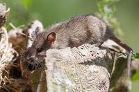 Maus auf Futtersuche