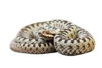 european venomous snake