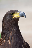 Close up profile portrait of Golden eagle on grey