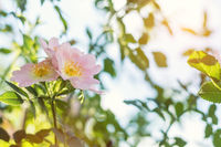 Beautiful summer scene with dog-rose flowers on blue sky background. Toned photo. Shallow depth of the field.