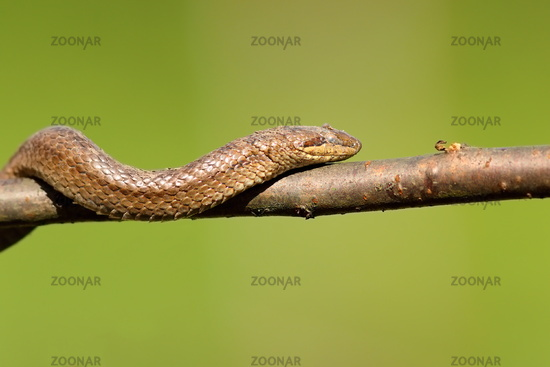 smooth snake climbing on branch ( Coronella austriaca ) over green out of focus background