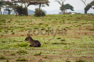 Waterbucks in the Amboseli Savannah a park in northwestern Kenya