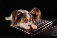 Beautiful dog Continental Toy Spaniel Papillon tired of working in laptop on black background