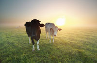 cows on pasture with sunrise sun