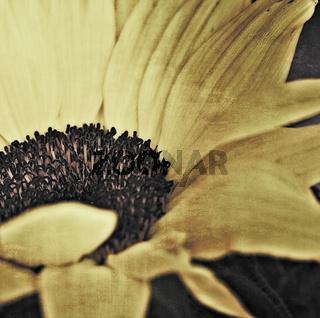Sonnenblume mit Textur im quadratischen Format