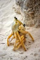 Strandkrabben bei der Paarung