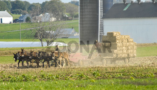Amish Family Harvesting the Fields on an Autumn Day pt 3