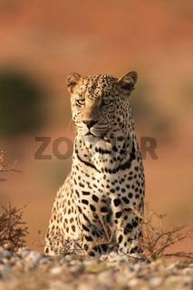 Leopard- sitting - Kalahari-South Africa