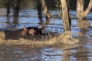Nilpferd (Hippopotamus amphibius),
