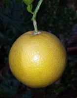 Pampelmuse, Citrus maxima, Grapefruit